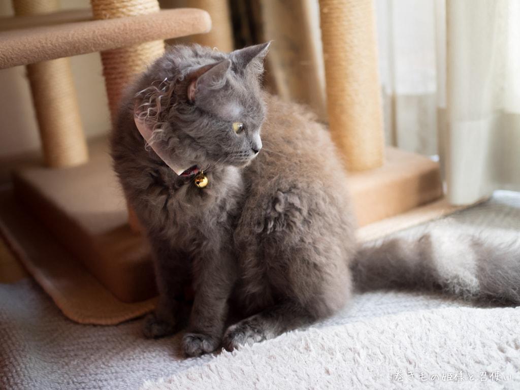 灰猫ラパーマの紫苑さん