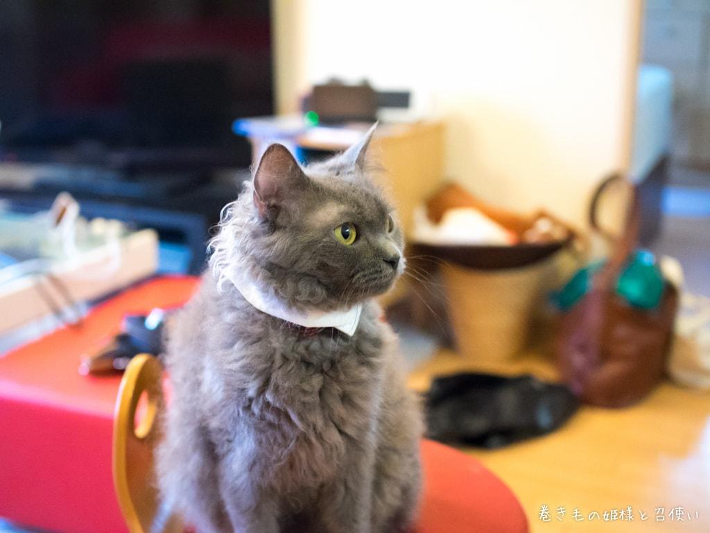 ラパーマ猫写真・スカーフみたい