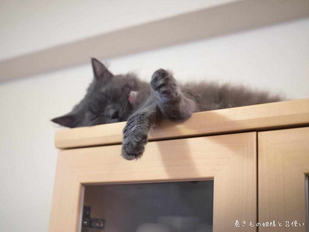 食器棚の上で寝落ちする紫苑さん2