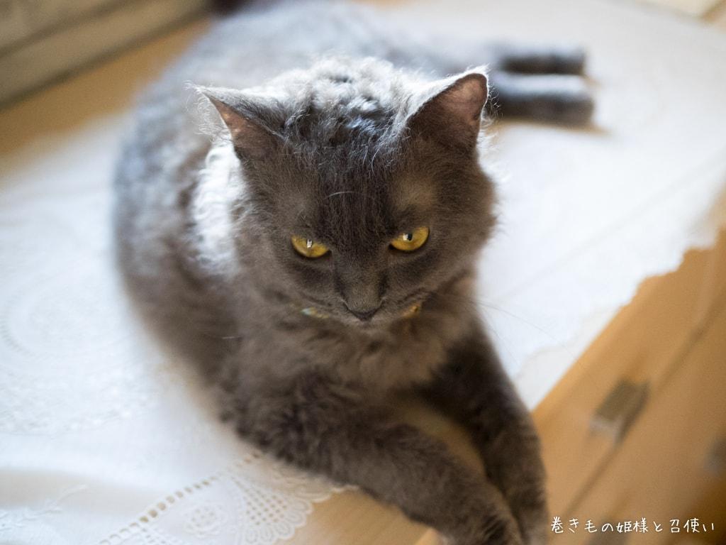 巻き毛猫ラパーマ