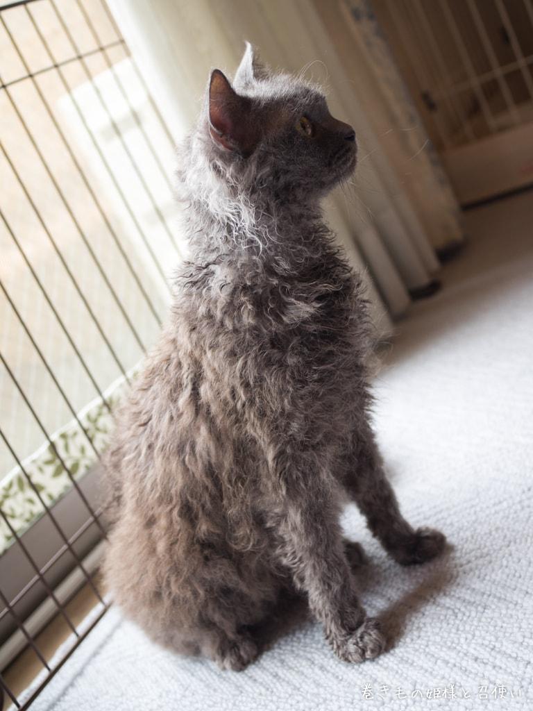 猫写真・ラパーマ