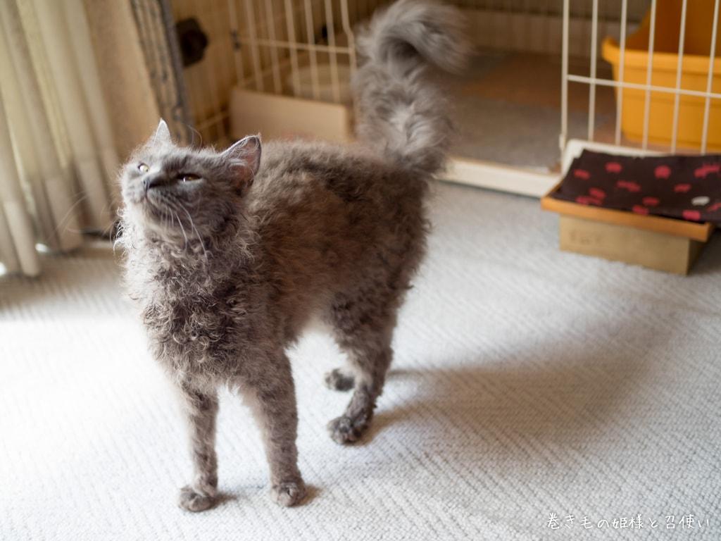 猫写真おねだりラパーマ