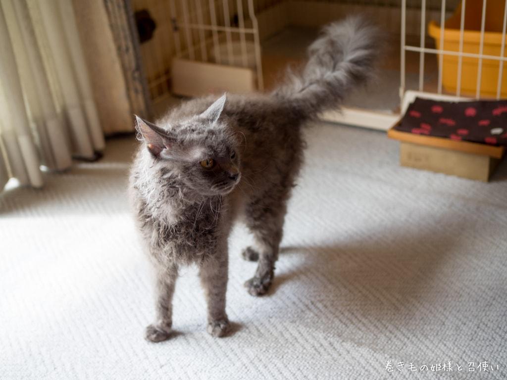 猫写真・おねだりラパーマ