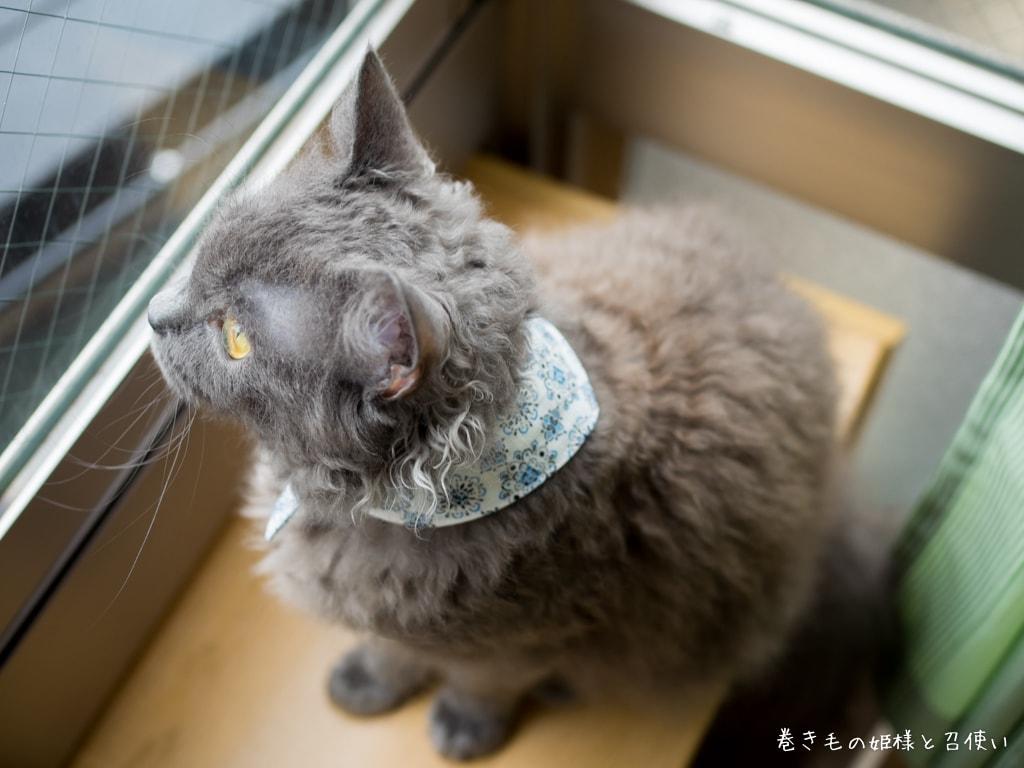 猫写真:ラパーマ
