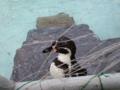 踏ん張るぞペンギン