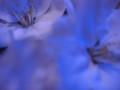 blue cherry