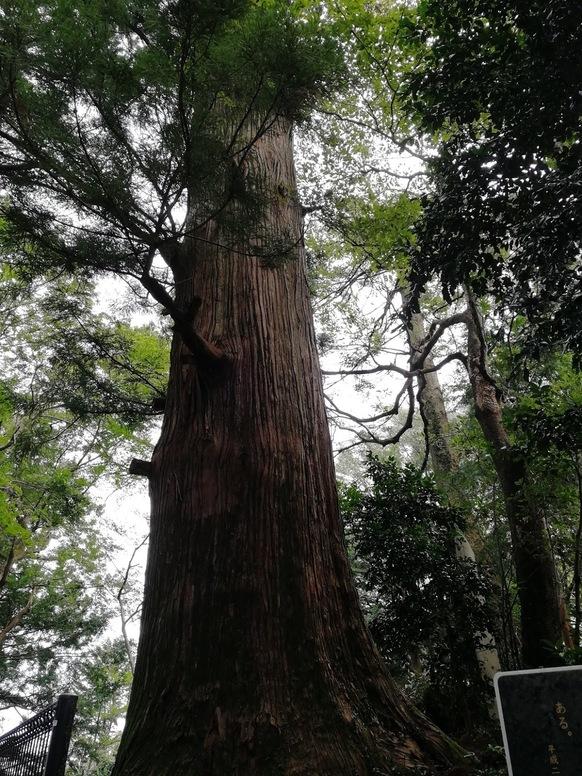 高尾山の杉の画像