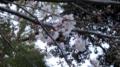 [比治山公園]桜
