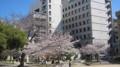 [袋町公園]桜