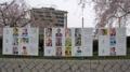 [広島市南区]猿猴川の堤防「桜」とポスター掲示場