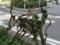 交差点南西のナツズイセン(拡大)