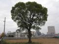 二葉の里再開発地区に残る木