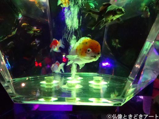 水槽を泳ぐ金魚の画像