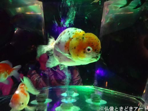 水槽を泳ぐ金魚を真横から撮影した画像