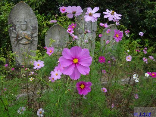 般若寺境内に咲いているコスモスの画像