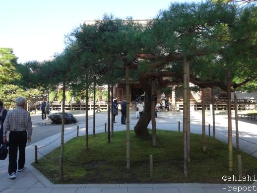 アカマツの木を撮影した画像
