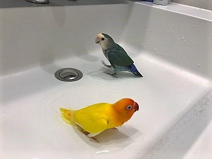 水浴びするインコ
