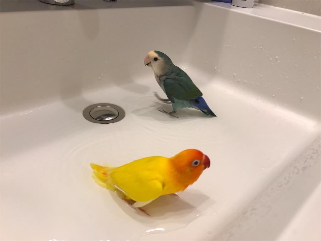 インコの水浴び
