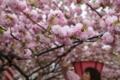 [造幣局][桜][大阪][Osaka]