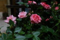 [母の日][薔薇]