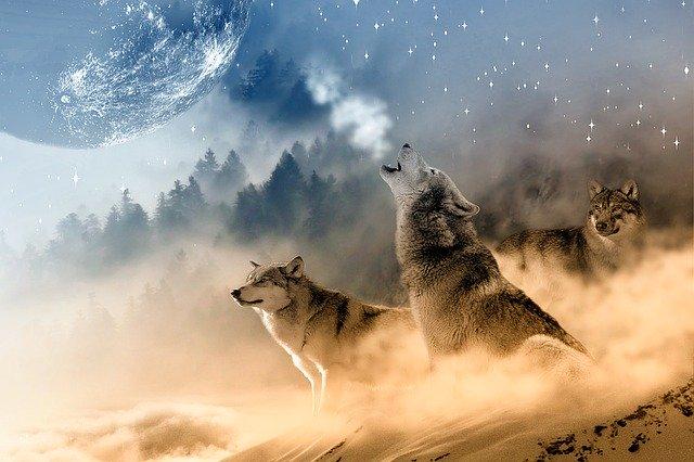 狼 遠吠え