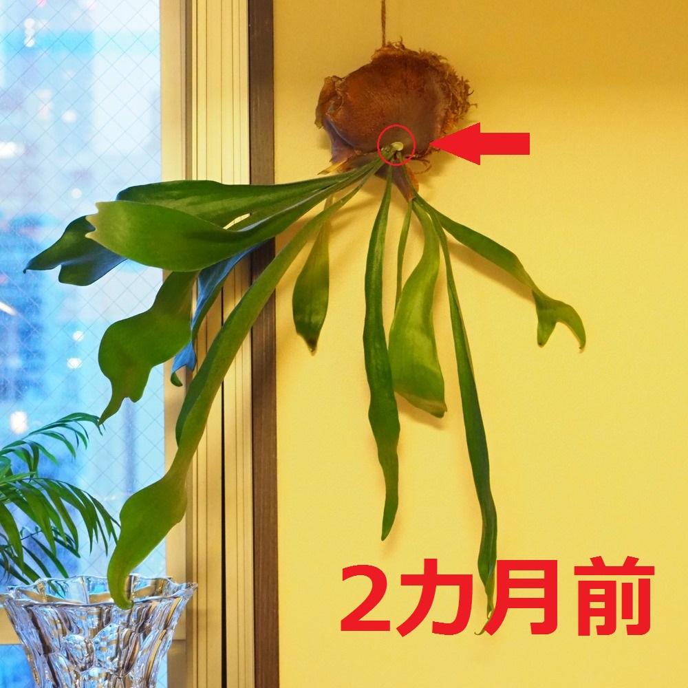 f:id:shokubutsuzoku:20190125163836j:plain