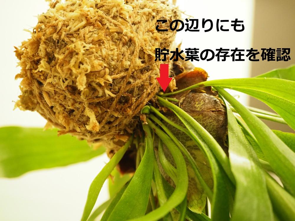 f:id:shokubutsuzoku:20190214004923j:plain