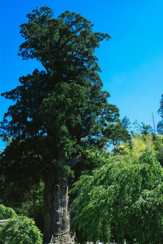 神木月瀬の大杉(長野県根羽村)
