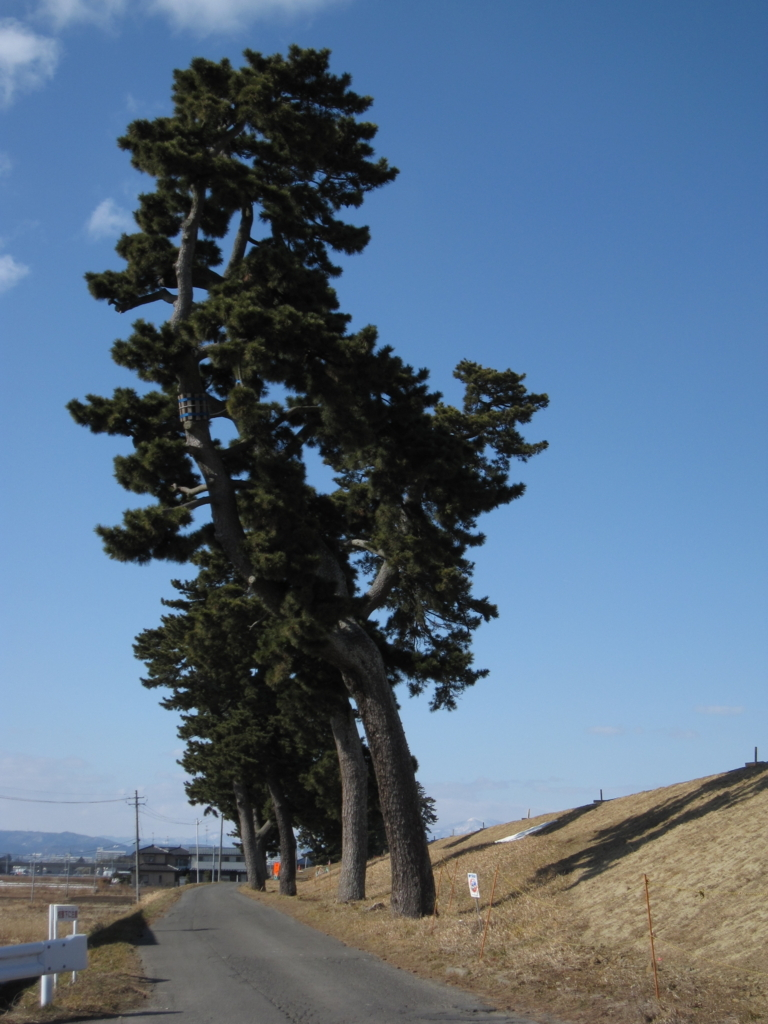 仙台近郊のすごい松の写真
