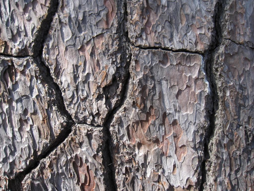松の肌の写真