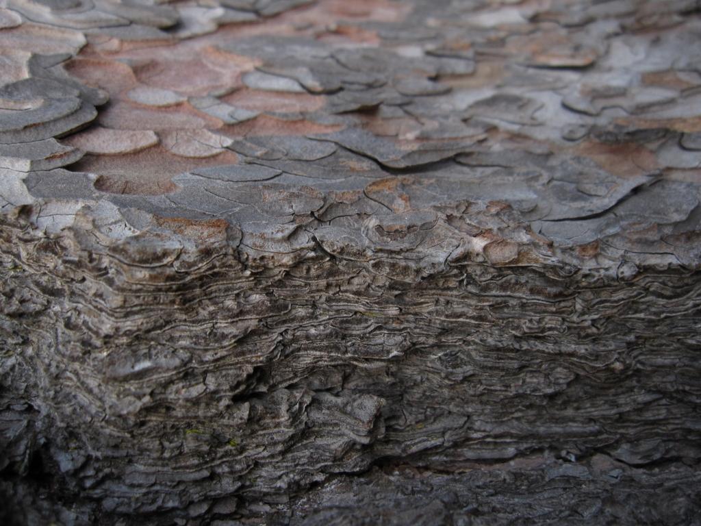 閖上近くの松の肌の写真
