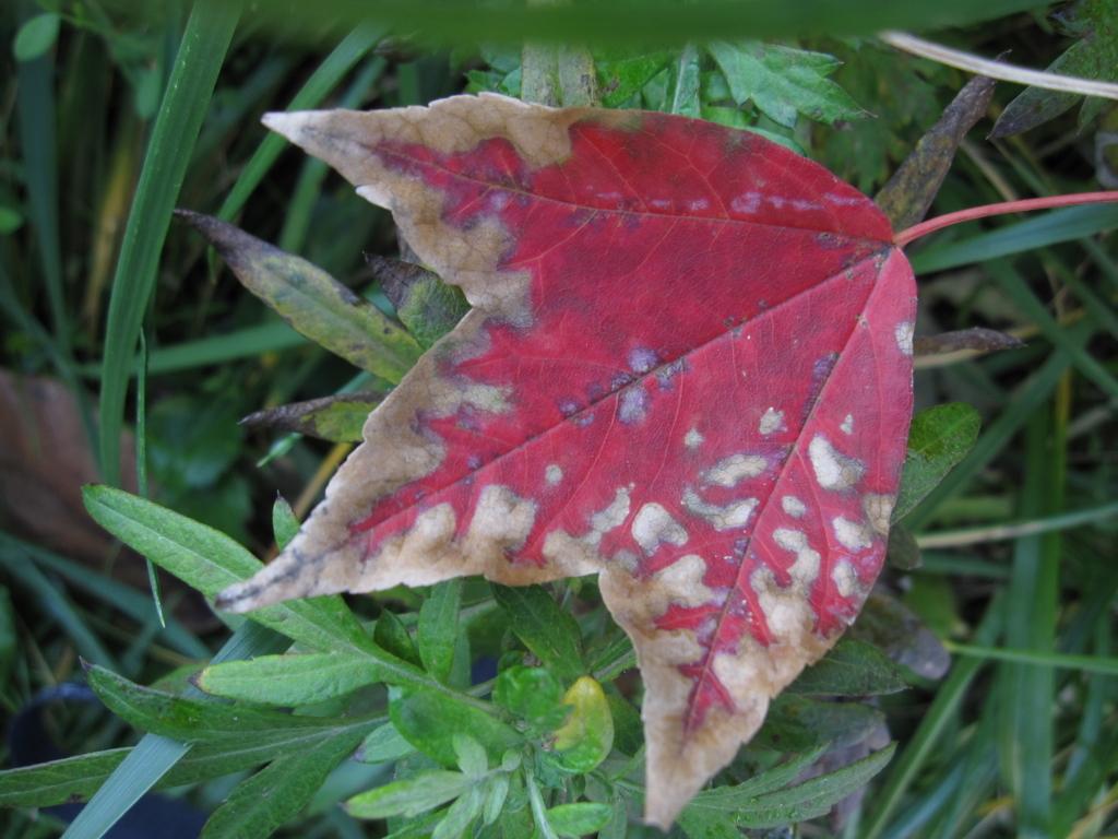紅葉する葉の写真