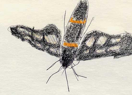 はんこ蝶のスケッチ