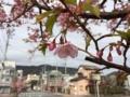 【伊東市】桜さくら