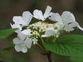 [小樽の花]オオカメノキ、2008年5月3日撮影