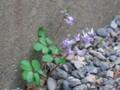 [小樽の風景]庭にて2010年5月3日撮影