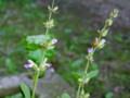[小樽の花]庭にて2010年6月26日撮