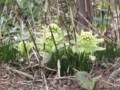 [小樽の花]長橋の塩谷街道にて2012年4月19日撮影