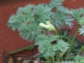 [小樽の花]庭にて2012年5月3日撮影