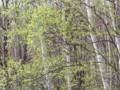 [小樽の花]裏山にて2012年5月3日撮影
