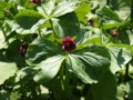 [北大植物園の花]コジマエンレイソウ2012年5月6日撮影