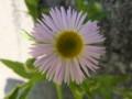 [小樽の花]家の横にて2012年6月26日撮影