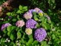 [小樽の花]庭にて2010年7月21日撮影
