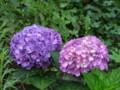 [小樽の花]庭にて2010年8月5日撮影