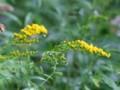 [小樽の花]裏山にて2010年8月5日撮影