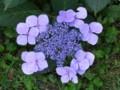 [小樽の花]庭にて2010年9月1日撮影