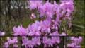[北大植物園の花]2013年5月18日撮影:ミツバツツジ