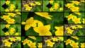 [北大植物園の花]2013年5月18日撮影:エゾノリュウキンカ