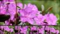 [北大植物園の花]2013年5月18日撮影:蝦夷紫躑躅