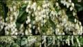 [北大植物園の花]2013年5月18日撮影:馬酔木